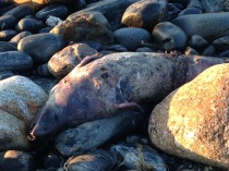 Two dead seals were discovered on Cobblestone Beach. A virus has been reported. I left a message on the Maritime Mammal hotline but never got a callback.